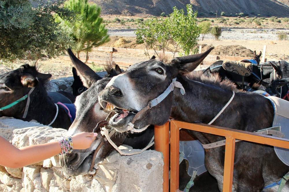 Donkey_Carob
