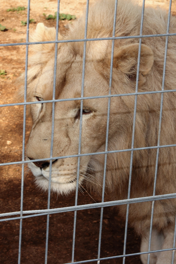 P_Zoo_Lion
