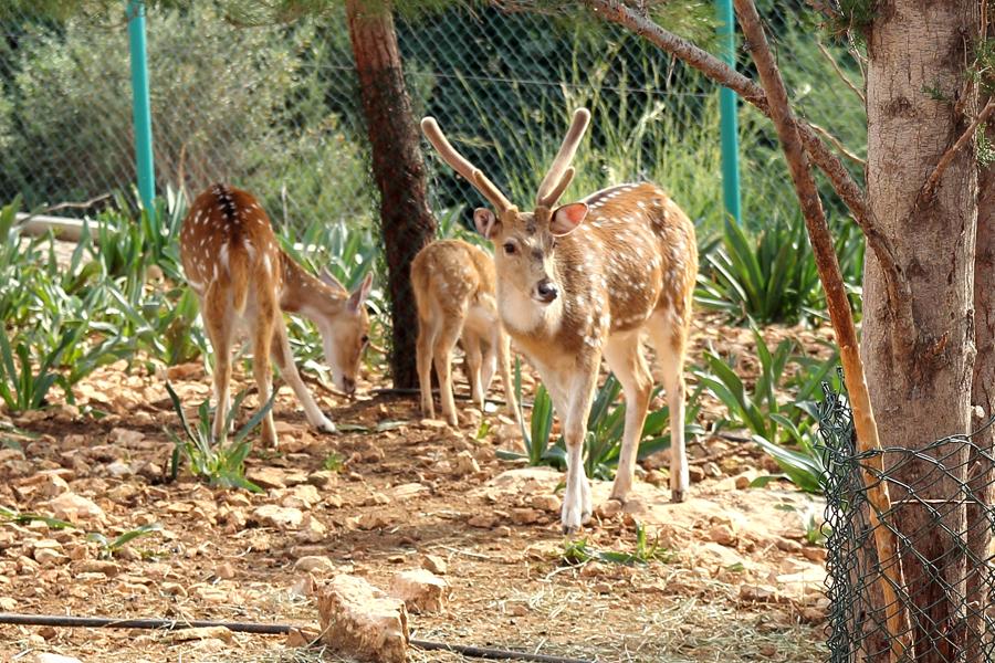 P_Zoo_deer