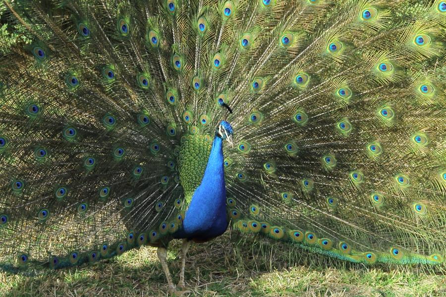 P_Zoo_peafowl