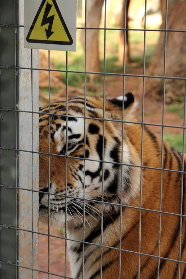P_Zoo_tiger