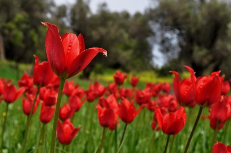 Тюльпаны на Кипре