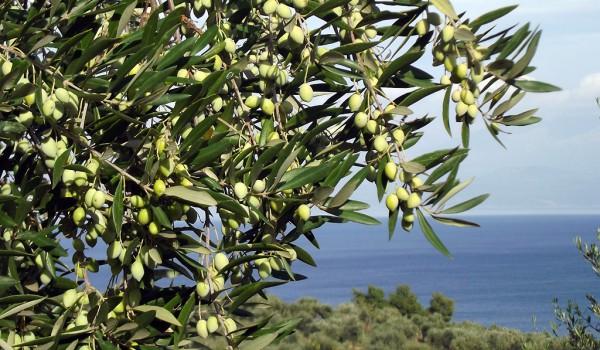 Оливки на Кипре