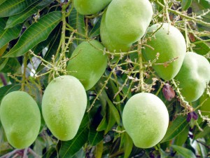 mangoes in Cyprus