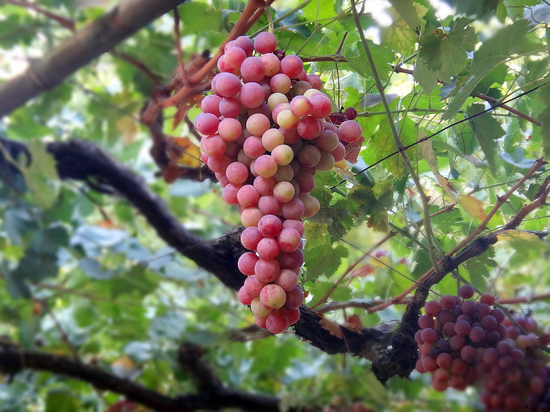 grapes in Cyprus