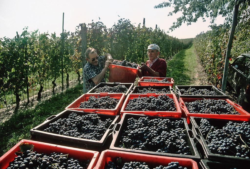 Сбор винограда на Кипре