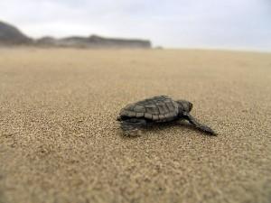 Черепаха на Кипрском пляже