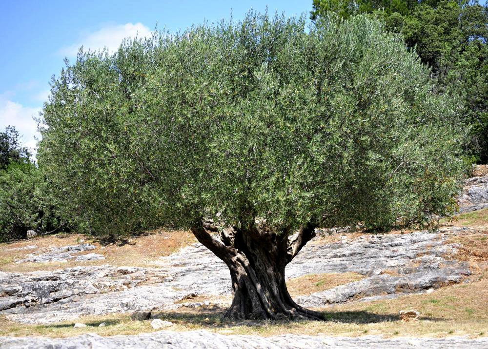 an olive tree in Cyprus